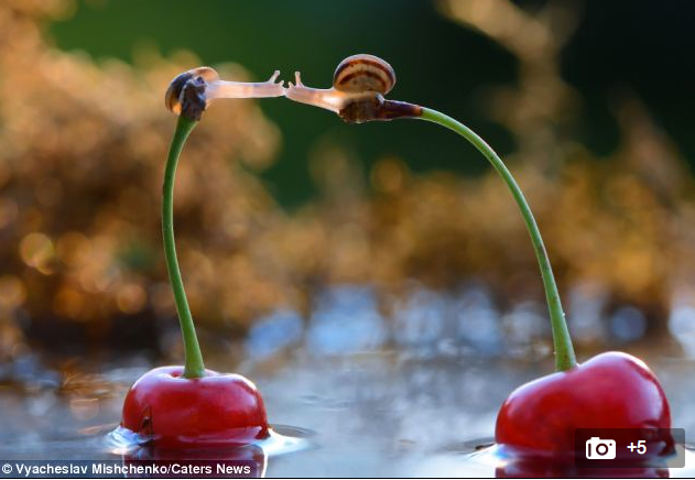 http://www.dailymail.co.uk/news/article-2588734/Two-snails-lean-kiss-perched-cherry-stems.html
